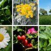 45 Underdogs und Superheld*innen – nutzbare Wildpflanzen